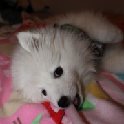American Eskimo puppy face laying on a cute pink blanket.PNG