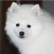 American Eskimo puppy face picture.PNG