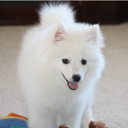 American Eskimo puppy image.PNG