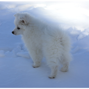 American Eskimo puppy in snow.PNG