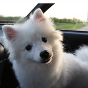 American Eskimo puppy in the front seat in the car.PNG