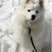 American Eskimo puppy looking up to the camera.PNG