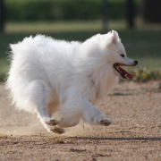 American Eskimo puppy on fast running.PNG