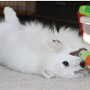 American Eskimo puppy on its back bitting on the colorful dog toy.PNG