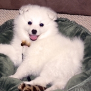 American Eskimo puppy on its green dog bed photo.PNG