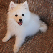 American Eskimo puppy on sofa looking up to the camera so cute.PNG