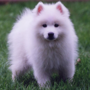 American Eskimo puppy photo.PNG