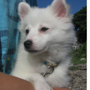 American Eskimo puppy photos.PNG