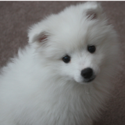 American Eskimo puppy picture.PNG