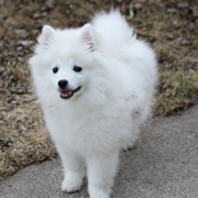 American Eskimo puppy pictures.PNG