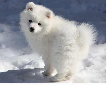 American Eskimo puppy playing in snow.PNG