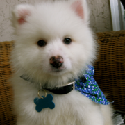 American Eskimo puppy post.PNG