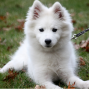 American Eskimo puppy posting to the camera.PNG