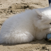 American Eskimo puppy relaxing on its owner's shoe.PNG
