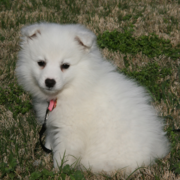 American Eskimo puppy taking sun bath.PNG