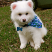 American Eskimo puppy wearing a pretty scarve.PNG