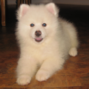 American Eskimo puppy with blue eyes.PNG