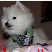 American Eskimo puppy with colorful scave.PNG