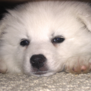 American Eskimo puppy with its sleepy face expression.PNG