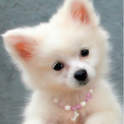 American Eskimo puppy with pearl necklace.PNG