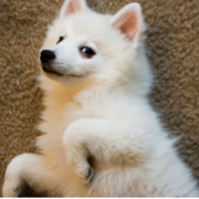 American Eskimo puppys.PNG