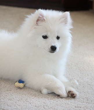 """Image result for snow white puppy"""""""