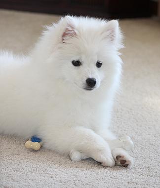 American Eskimo Dog Puppies For Sale Melbourne
