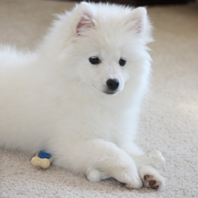 Beautiful American Eskimo puppy in snow white fur.PNG