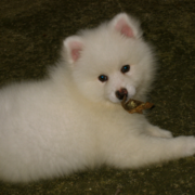 Beautiful dog picture of a American Eskimo pup.PNG