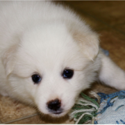 Beautiful dog picture of a American Eskimo puppy.PNG