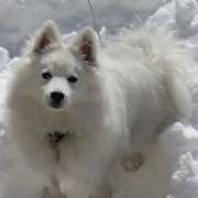 Big American Eskimo puppy in snow looking up to the camera.PNG