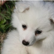 Close up picture of American Eskimo puppy in white.PNG