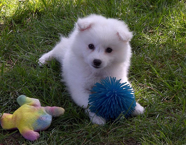 Cute American Eskimo Puppy Playing With Its Puppy Toyspng