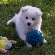 Cute American Eskimo puppy playing with its puppy toys.PNG