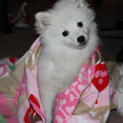 Cute American Eskimo puppy wrapped in pink blanket.PNG