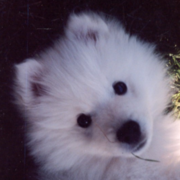 Cute puppy face picture of American Eskimo dog in white.PNG