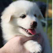Fury American Eskimo puppy pic.PNG
