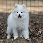 Image of American Eskimo pup in white.PNG