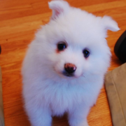 Image of American Eskimo puppy.PNG