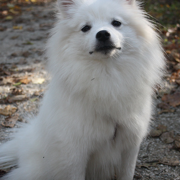 Photo fo American Eskimo puppy dog.PNG