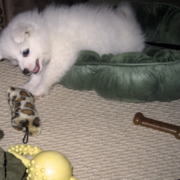 Photo of American Eskimo puppy playing with its dog toys.PNG