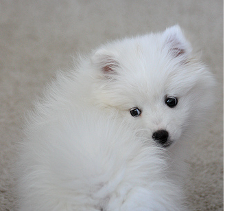 Picture of American Eskimo pup in white.PNG