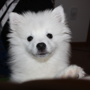 Picture of American Eskimo puppy.PNG