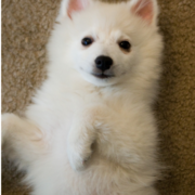 Pretty American Eskimo puppy on its back looks at the camera looking so cute.PNG