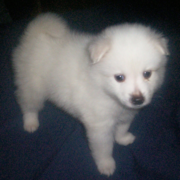 Small American Eskimo puppy images.PNG