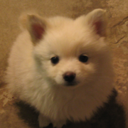 Small American Eskimo puppy looking up the camera.PNG