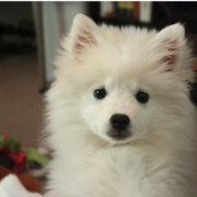 Sweet American Eskimo puppy images.PNG