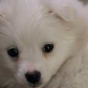 Very close up picture of puppy face with American Eskimo dog puppy.PNG