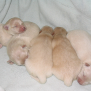 Very young American Eskimos Puppies in deep sleep.PNG