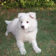 White American Eskimo pup.PNG
